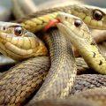 夢占い 蛇が大量に出てくる夢は大量の不運が訪れる。